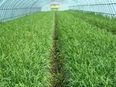 温室韭菜早春管理技术